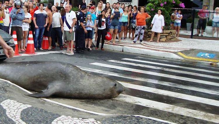 Морской лев на... городской улице (4)