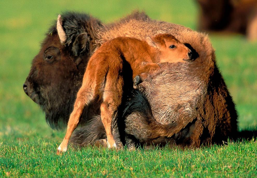 День Матери - фото из мира животных (26)