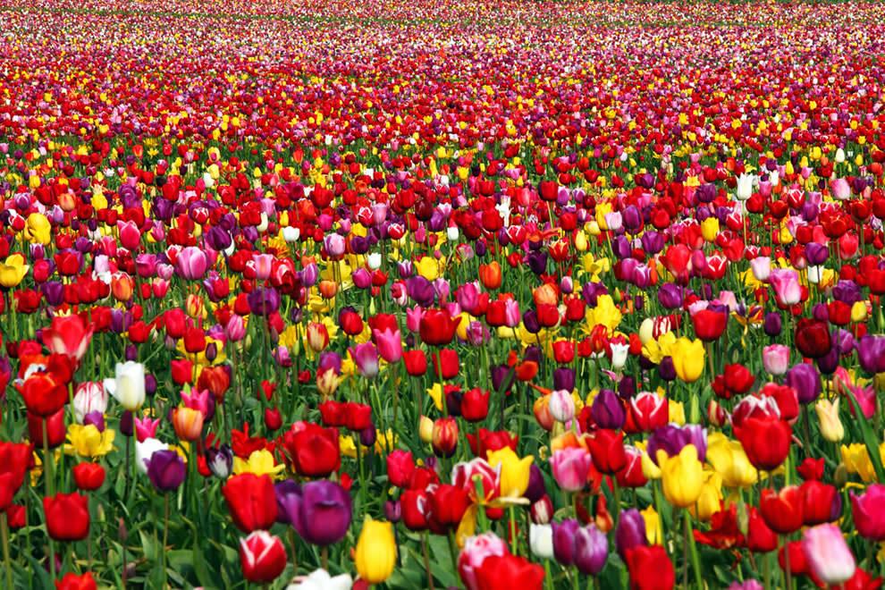 Тюльпаны - цветы весны (10)