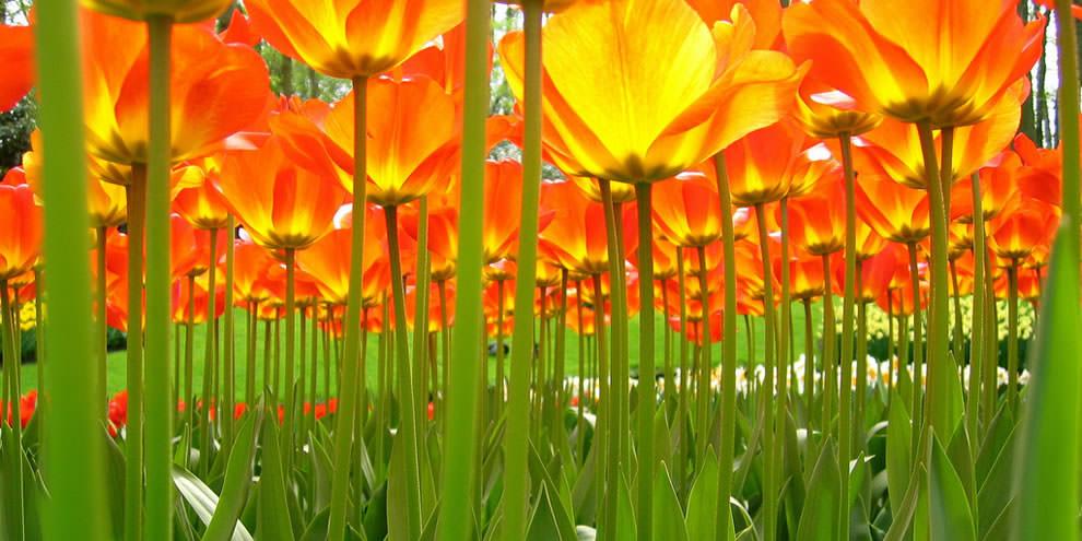 Тюльпаны - цветы весны (11)