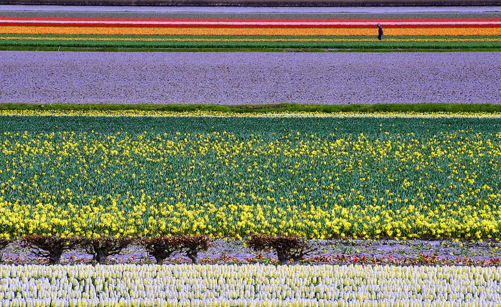 Тюльпаны - цветы весны (13)