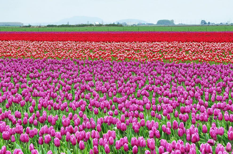 Тюльпаны - цветы весны (15)