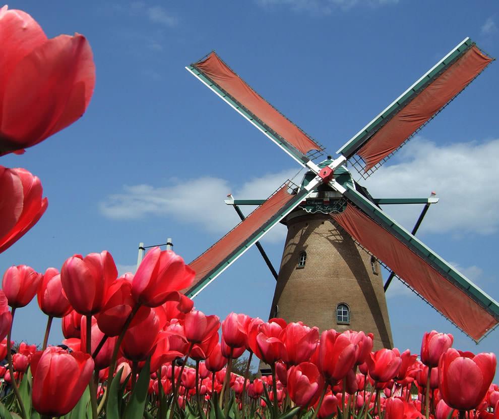 Тюльпаны - цветы весны (17)