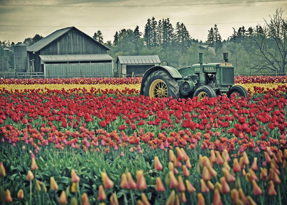 Тюльпаны - цветы весны (18)