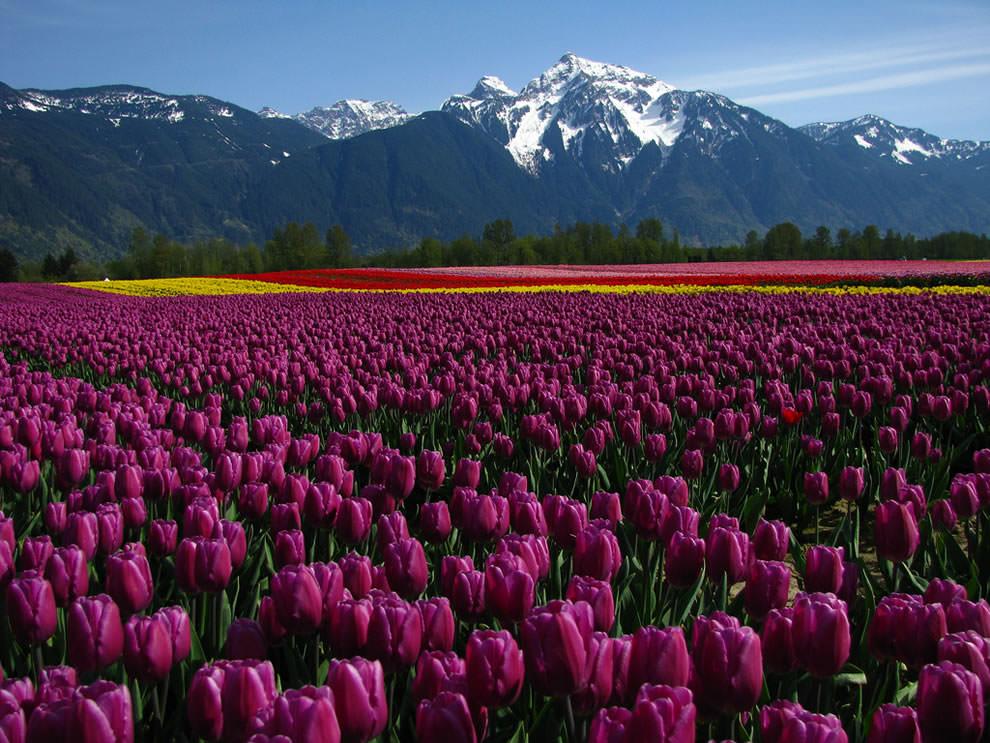 Тюльпаны - цветы весны (1)