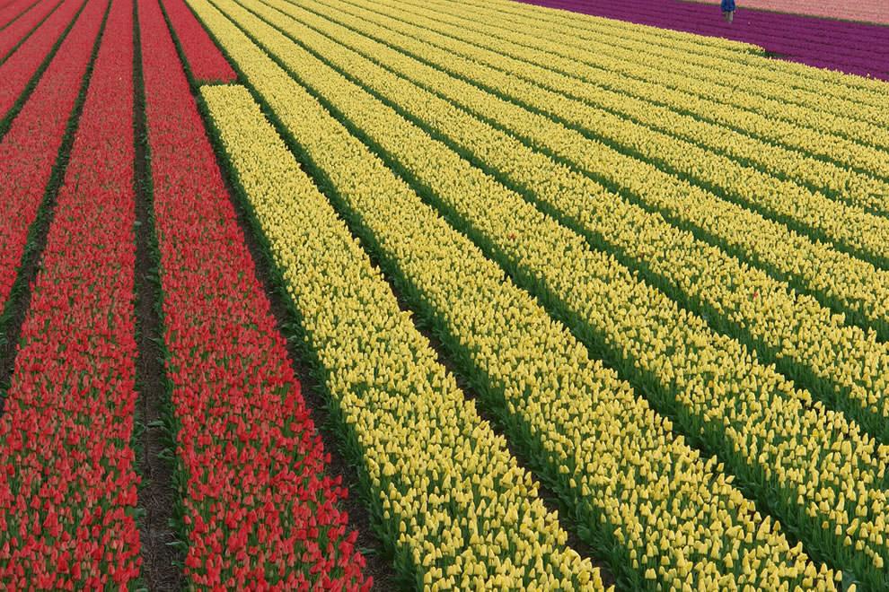 Тюльпаны - цветы весны (20)