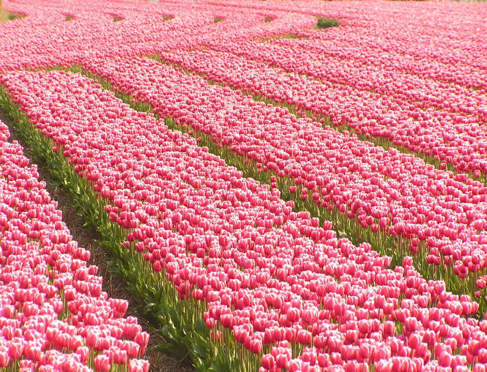 Тюльпаны - цветы весны (21)