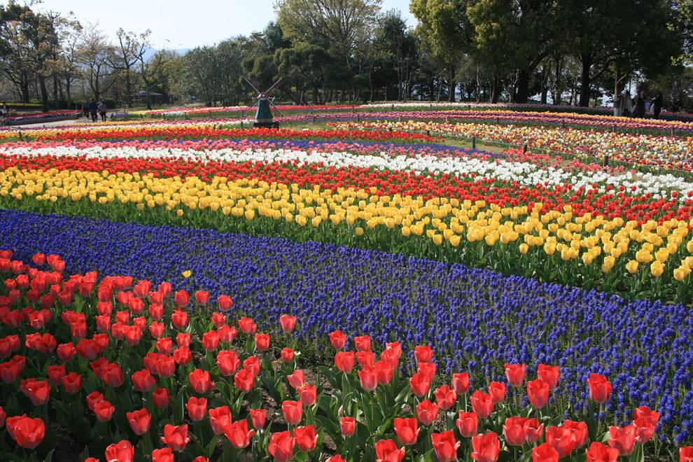 Тюльпаны - цветы весны (22)
