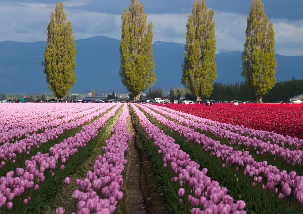 Тюльпаны - цветы весны (23)
