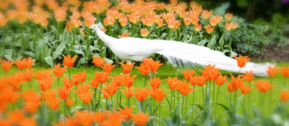Тюльпаны - цветы весны (24)