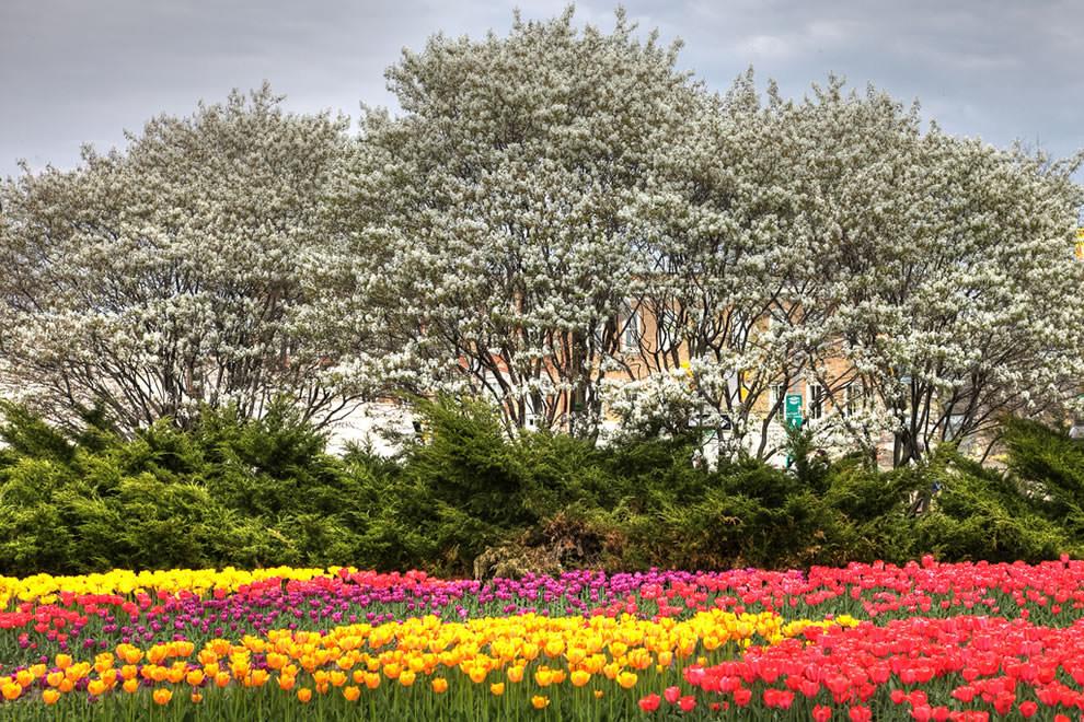 Тюльпаны - цветы весны (25)