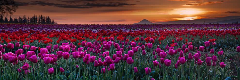 Тюльпаны - цветы весны (27)
