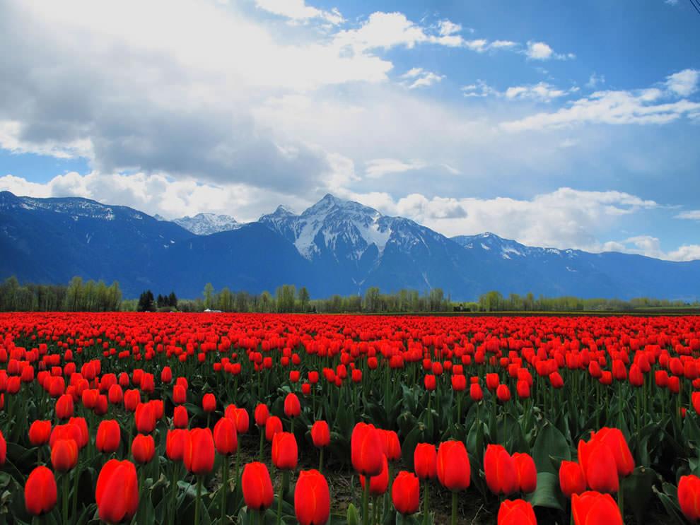 Тюльпаны - цветы весны (28)