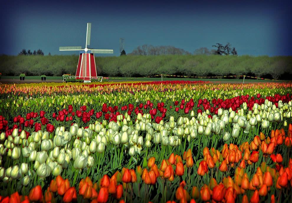 Тюльпаны - цветы весны (2)