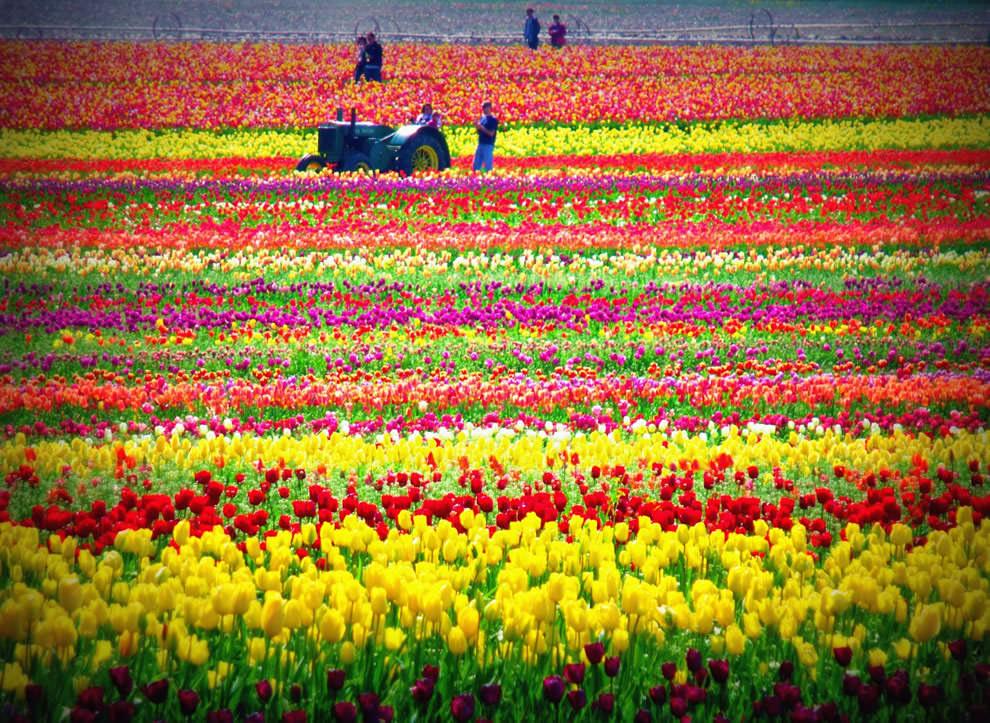 Тюльпаны - цветы весны (4)
