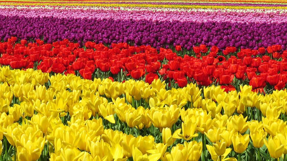 Тюльпаны - цветы весны (6)