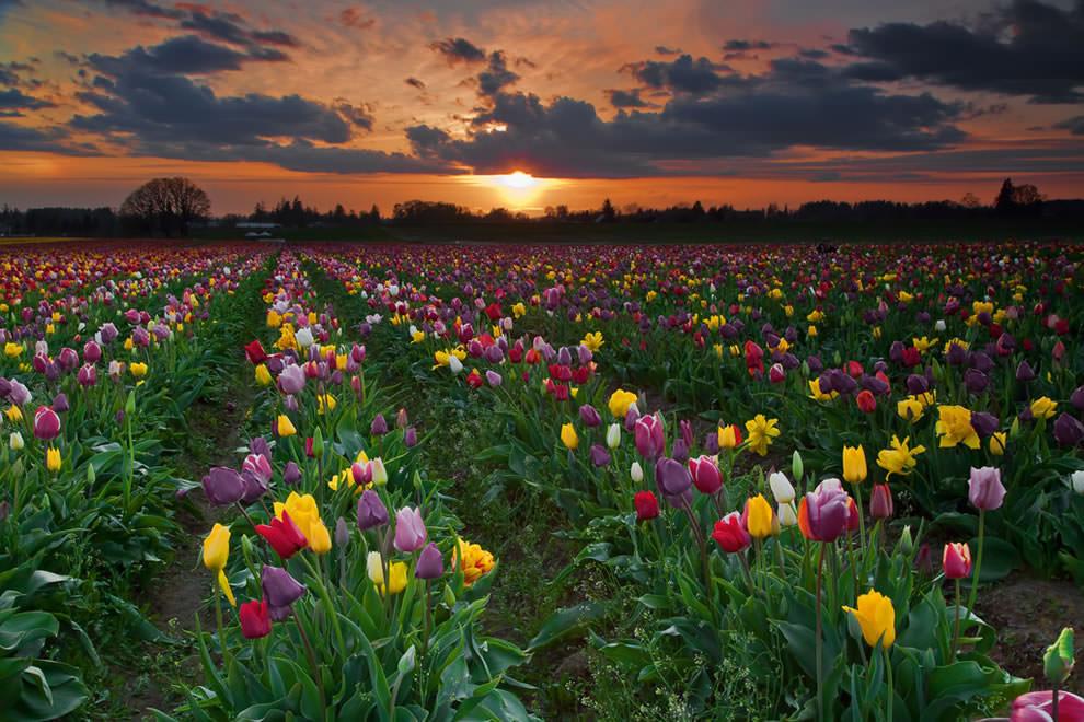 Тюльпаны - цветы весны (7)