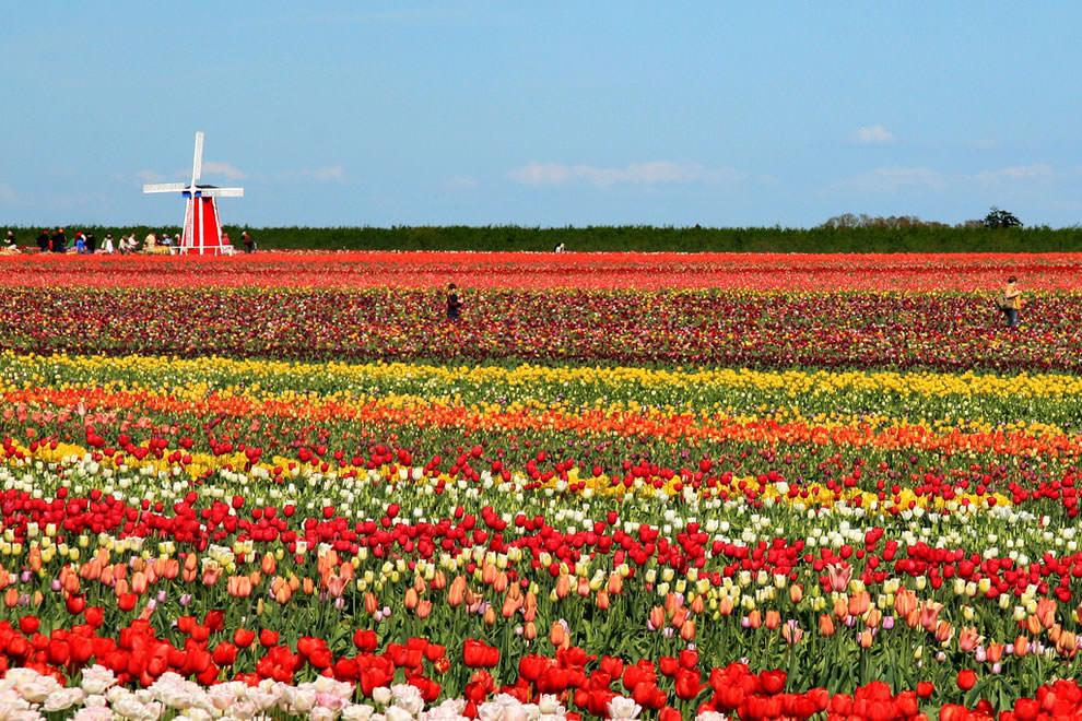 Тюльпаны - цветы весны (8)
