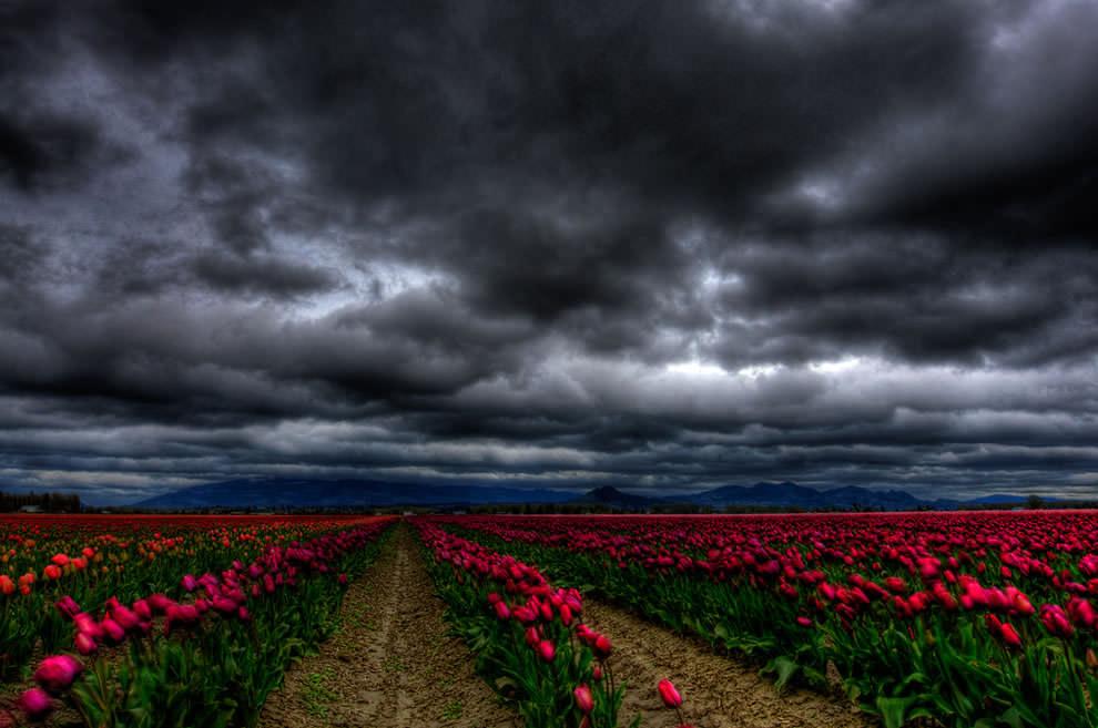 Тюльпаны - цветы весны (9)