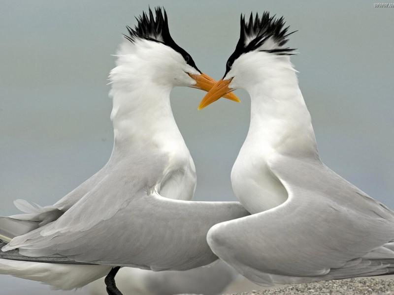 Признания в любви в животном мире (6)